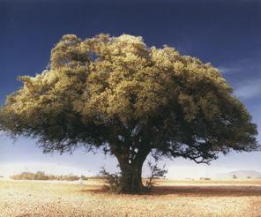 Аргания, или железное дерево