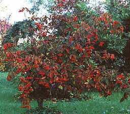 фото растение калина